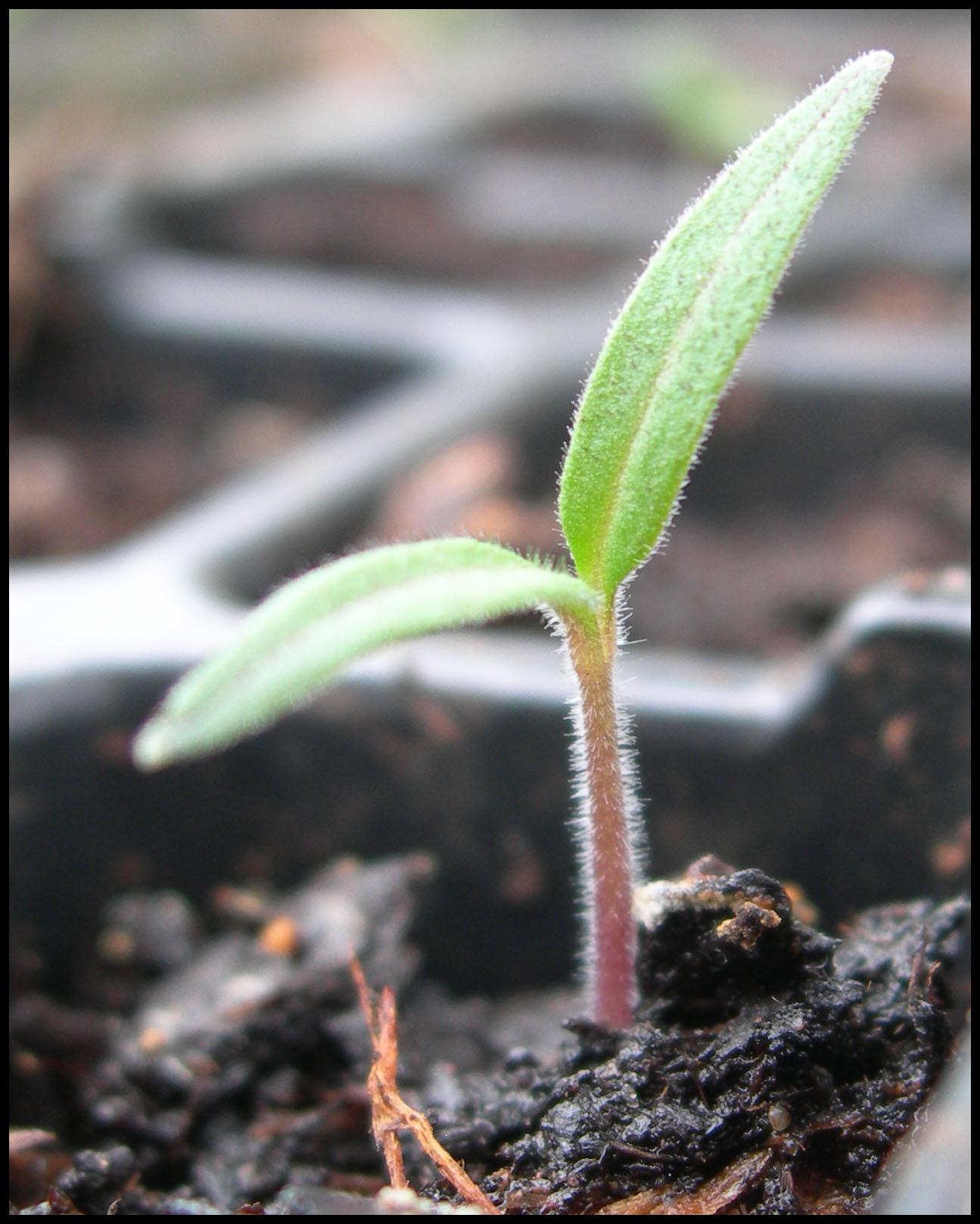 tomaten-plant-zaailing.jpg